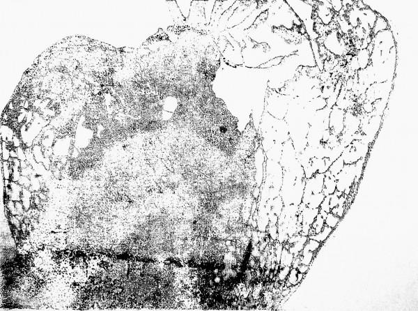 Physalis, screenprint on paper, Din.A3